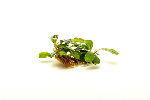 Bucephalandra Brownie Brown