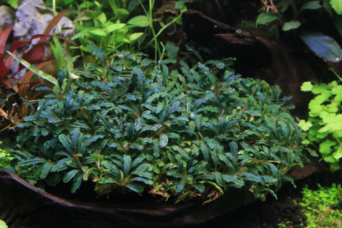 Catherinae Green - BucePlant.com