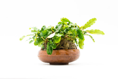 Bucephalandra Green Wavy on Bowl (Farmed) - BucePlant.com
