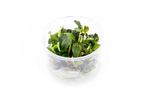 Bucephalandra Green Wavy Tissue Culture
