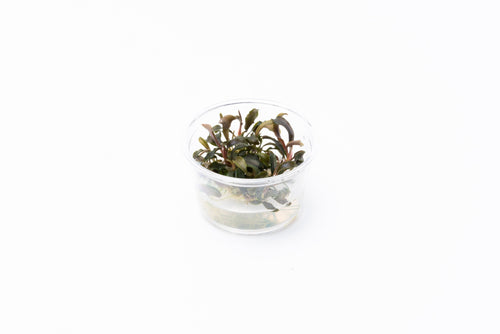 Bucephalandra Mini Black Carpet Tissue Culture