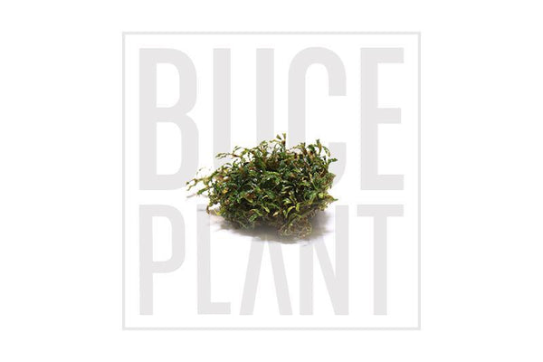 Bucephalandra Mini Clump (3-5 Plants) Belindae Mini