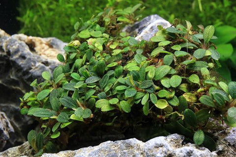 Bucephalandra Mini Clump (3-5 Plants) Mini Coin