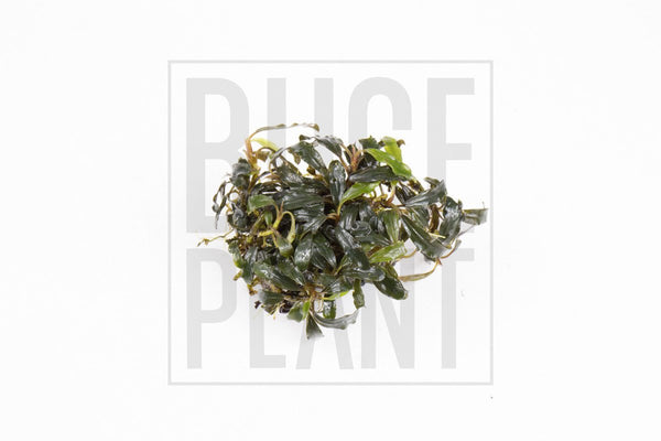 Bucephalandra Mini Clump (3-5 Plants) Super Red