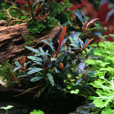 Bucephalandra Mini Clump (3-5 Plants) Velvet 3 Color
