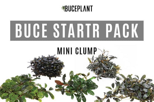 Bucephalandra Mini Clump Package Team Buce Plant Starter Pack