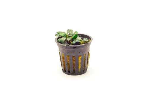 Bucephalandra Mini Coin Pot