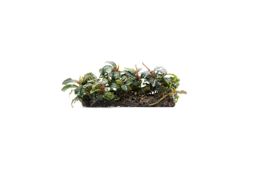 Bucephalandra Mix on Stone