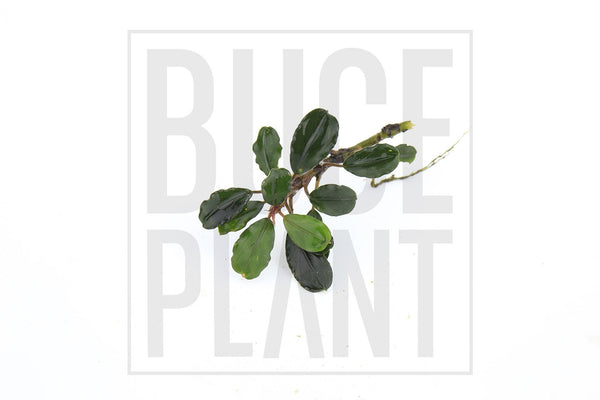 Bucephalandra Plant (10+ Leaves) Black Marble