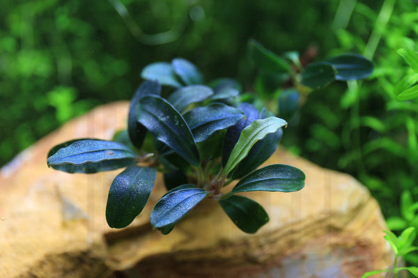 Bucephalandra Plant (10+ Leaves) Deep Purple