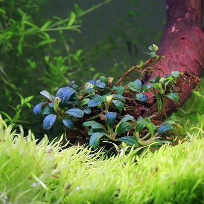 Lamandau Mini Purple - Buce Plant