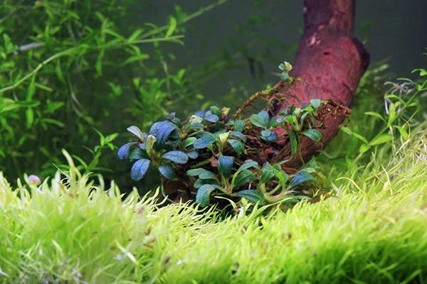 Bucephalandra Plant (10+ Leaves) Lamandau Mini Purple