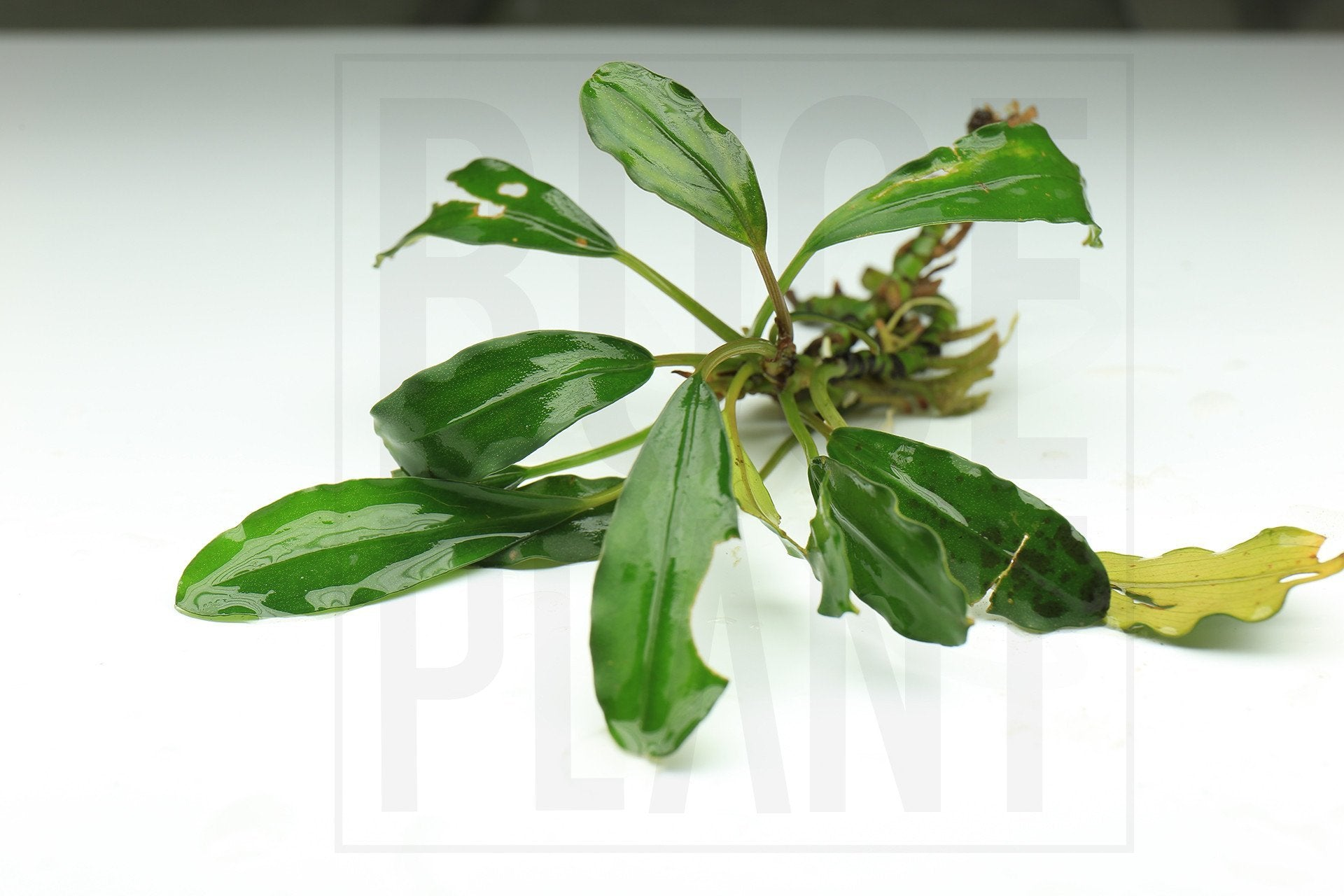 Bucephalandra Plant (6-10 Leaves) Red Aphrodisiac