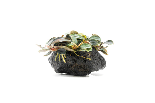 Bucephalandra Red Mini on Lava Stone (Farmed) - BucePlant.com