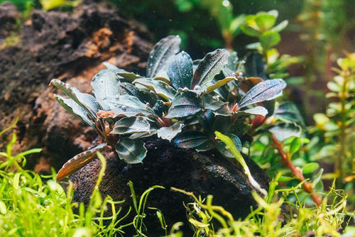 Bucephalandra Red Mini on Lava Stone Aquarium Plant Decor
