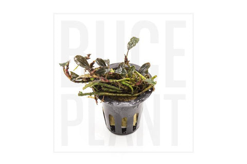 Collector's Buce Black Mist Buce Plant Private Collection (H3)