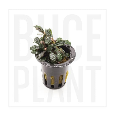 Bucephalandra Black Tears Potted Aquarium Plant