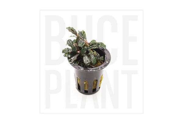 Collector's Buce Black Tears Buce Plant Private Collection (K8)