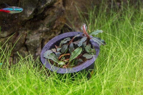 Collector's Buce Brownie Blue Buce Plant Private Collection (M2)