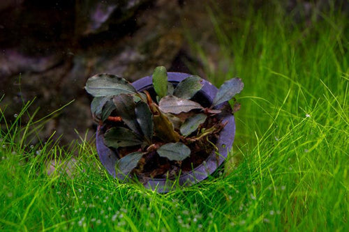 Bucephalandra Brownie Purple Aquarium Plant