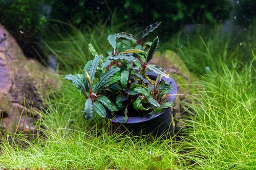 Bucephalandra Catherinae Red Aquarium Plant