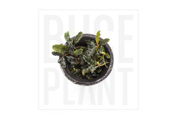 Collector's Buce Dark Wave Buce Plant Private Collection (H2)
