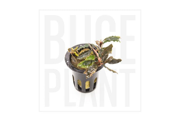 Collector's Buce Kapit Sultan Buce Plant Private Collection (I6)