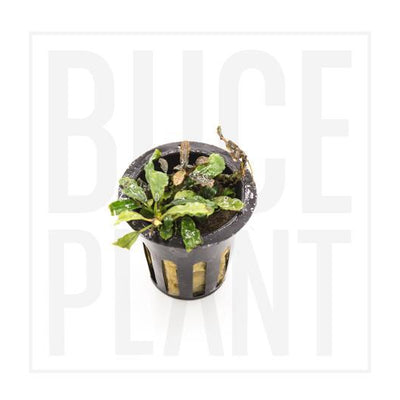 Collector's Buce Kedagang Long Buce Plant Private Collection (J2)