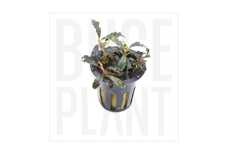 Collector's Buce Kedagang Original Buce Plant Private Collection (C10)