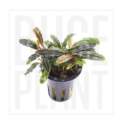 Collector's Buce Kedagang Purple Buce Plant Private Collection (C7)