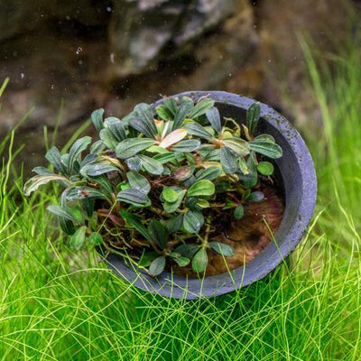 Collector's Buce Lamandau Mini Buce Plant Private Collection (I8)