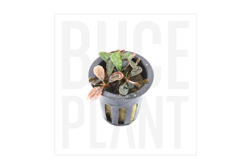 Collector's Buce Little Red Star Buce Plant Private Collection (D7)
