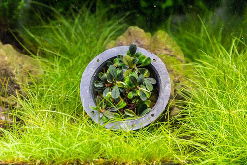 Bucephalandra Mini Coin Aquarium Plant