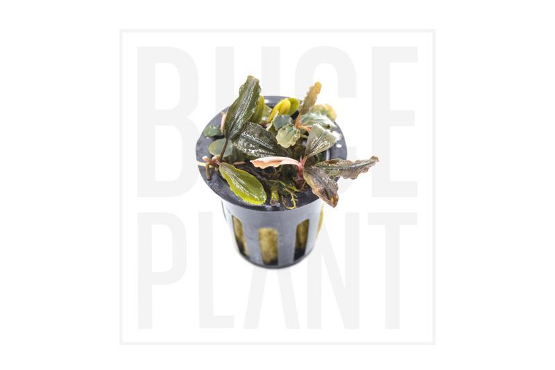 Collector's Buce Sherry Buce Plant Private Collection (C8)