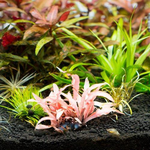 Cryptocoryne Albida Red Tissue Culture