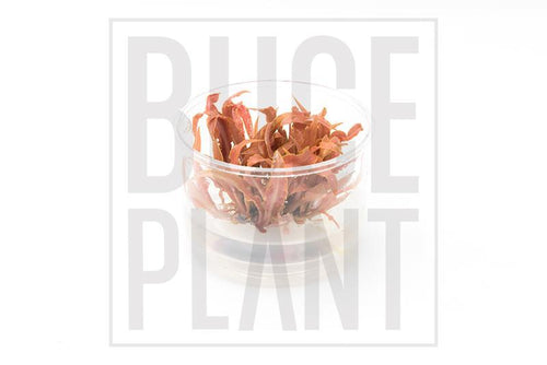 Cryptocoryne Albida Red Tissue Culture - BucePlant.com