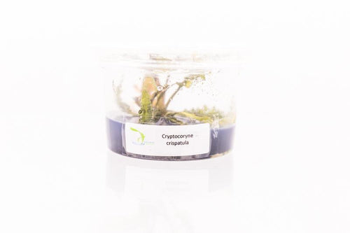 Cryptocoryne Crispatula Aquatic Farmer Tissue Culture