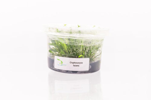 Cryptocoryne Lucens Aquatic Farmer Tissue Culture