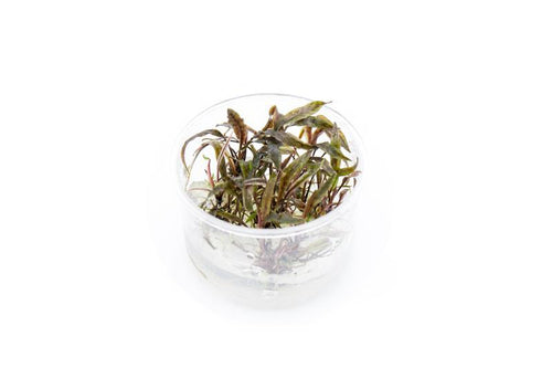 Cryptocoryne Nurii Tissue Culture