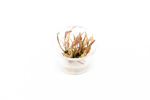 Cryptocoryne Pink Flamingo Tissue Culture
