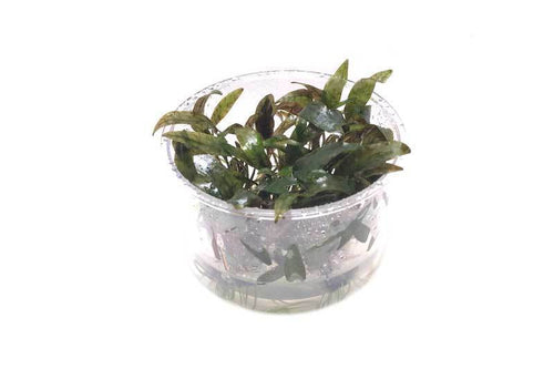 Cryptocoryne Purpurea Tissue Culture