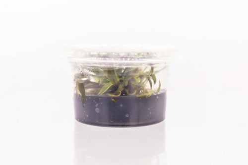 Cryptocoryne Undulatus Aquatic Farmer Tissue Culture