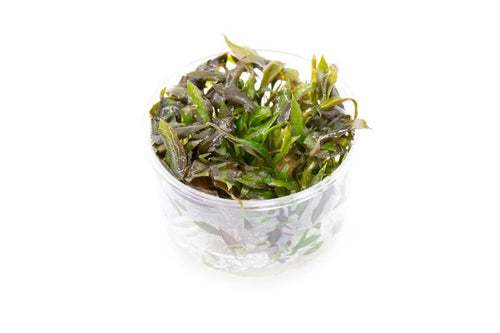 Cryptocoryne Walkeri UNS Tissue Culture - Buce Plant