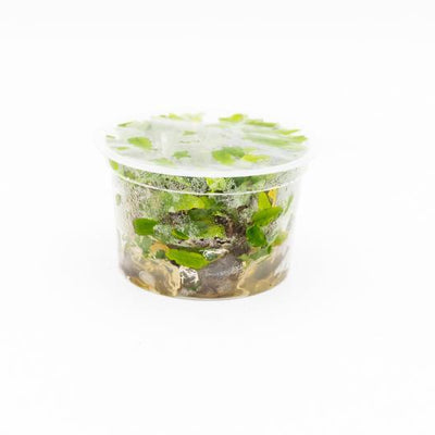 Cryptocoryne Wendtii Green Tissue Culture