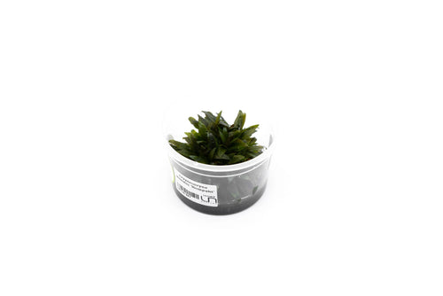Cryptocoryne Wendtii Kompakt Aquatic Farmer Tissue Culture