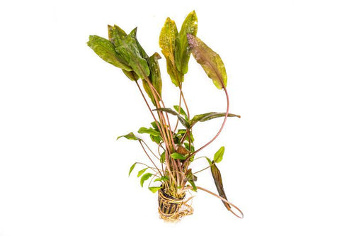 Cryptocoryne Wendtii Red