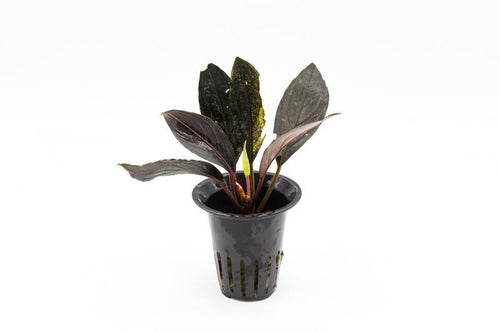 Dark Skeleton King - BucePlant.com