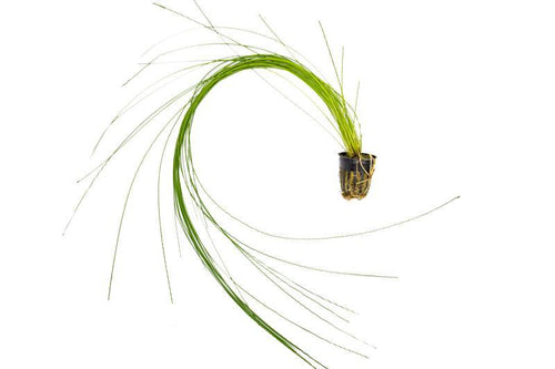 Eleocharis montevidensis (Giant Hair grass)