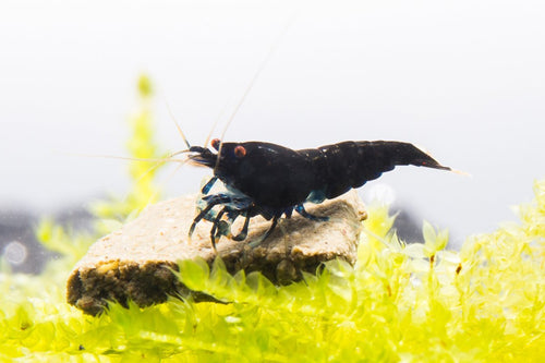 Extreme Black King Kong Shrimp - Buce Plant
