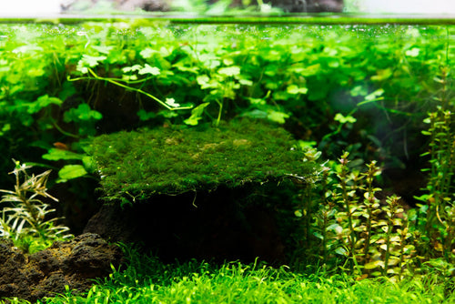 Fissidens Fontanus on Stainless Steel (Large) Aquarium Plant